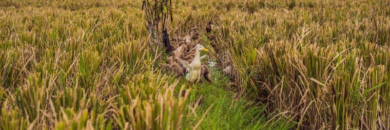 Grupa kaczki na stronie ryż pola w Bali sztandarze, DŁUGI format zdjęcie royalty free
