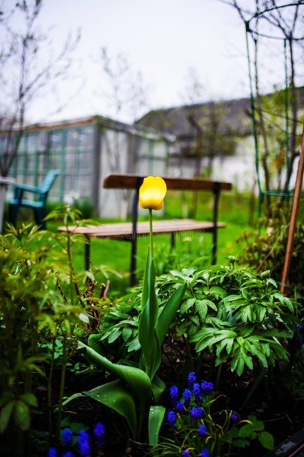 Grupa kolorowy tulipan Kwitnie tulipanu zaświecającego światłem słonecznym w kwiatu ogródzie obrazy stock