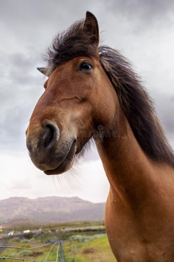 Grupa konie podczas gdy pasający w Iceland równinie zdjęcia royalty free