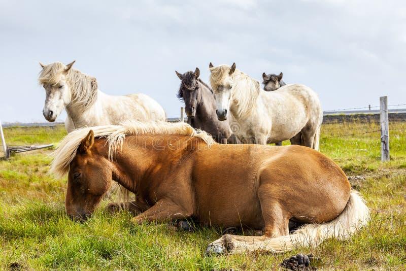 Grupa konie podczas gdy pasający w Iceland równinie zdjęcie royalty free