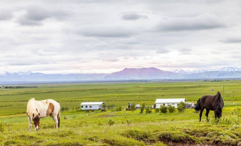 Grupa konie podczas gdy pasający w Iceland równinie obraz stock