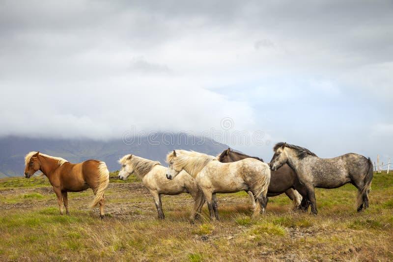 Grupa konie podczas gdy pasający w Iceland równinie fotografia royalty free