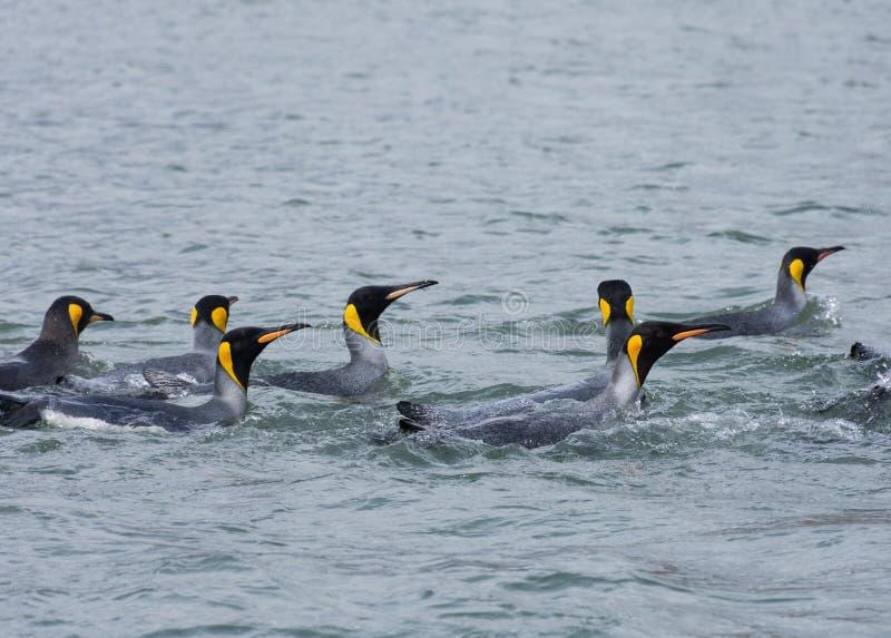 Grupa królewiątko pingwiny Pływa w oceanie obrazy stock