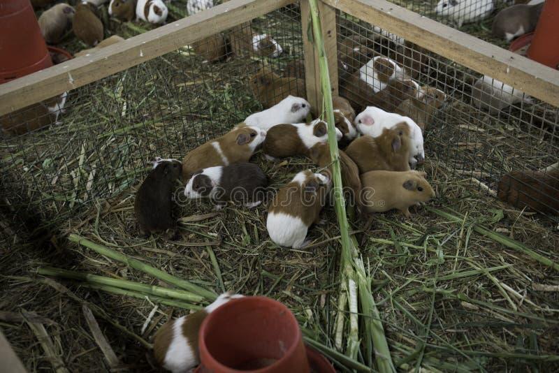 Grupa królika doświadczalnego łasowanie zdjęcia royalty free