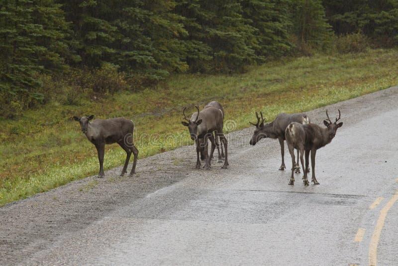 Grupa lasu Caribou wzdłuż Alaska autostrady zdjęcie royalty free