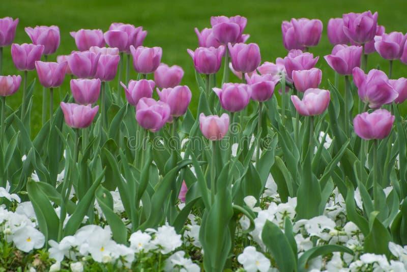 Grupa lila tulips w ogrodzie fotografia stock