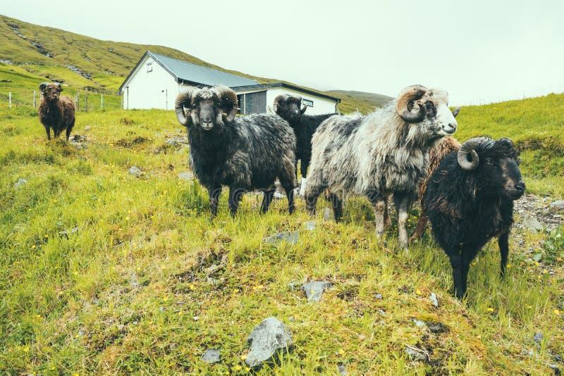 Grupa męscy sheeps z dużym rogiem na zielonej trawy wzgórzu w gospodarstwie rolnym, chmurna pogoda w Faroe wyspach, północnego at obrazy royalty free