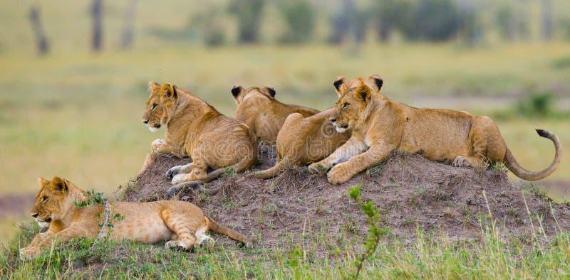 Grupa młodzi lwy na wzgórzu Park Narodowy Kenja Tanzania mara masajów kmieć zdjęcia stock