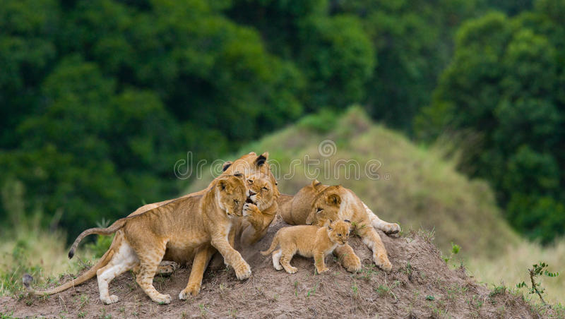 Grupa młodzi lwy na wzgórzu Park Narodowy Kenja Tanzania mara masajów kmieć fotografia stock
