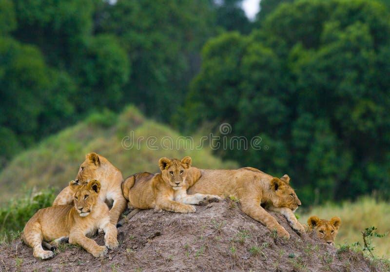 Grupa młodzi lwy na wzgórzu Park Narodowy Kenja Tanzania mara masajów kmieć zdjęcia royalty free
