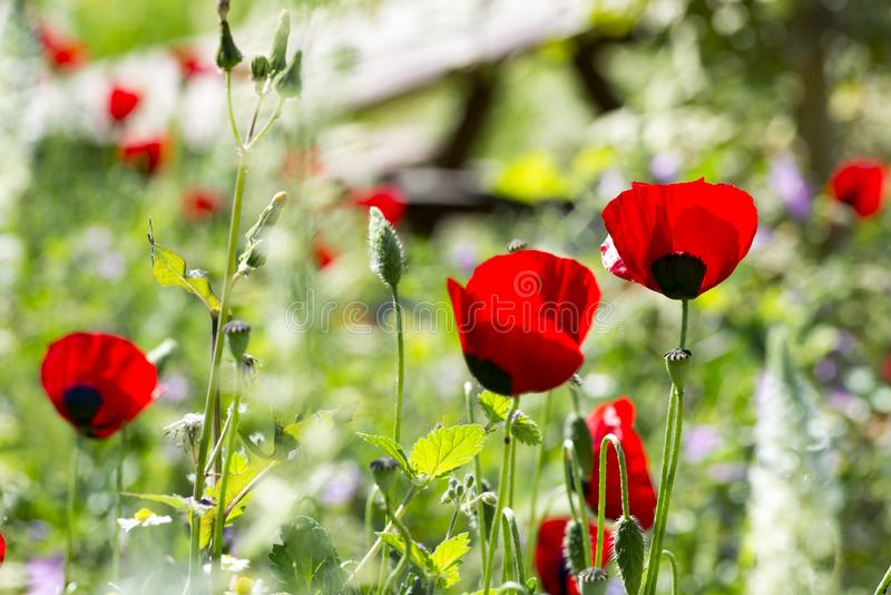 Grupa maczki w ogródzie fotografia royalty free