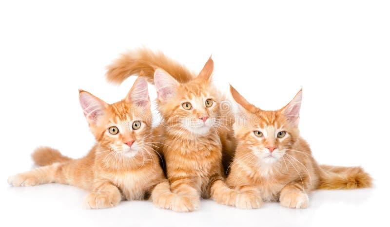 Grupa mali imbirowi Maine coon koty kłama w frontowym widoku isola fotografia royalty free