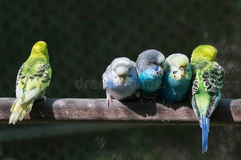 Grupa mali parakeets fotografia royalty free