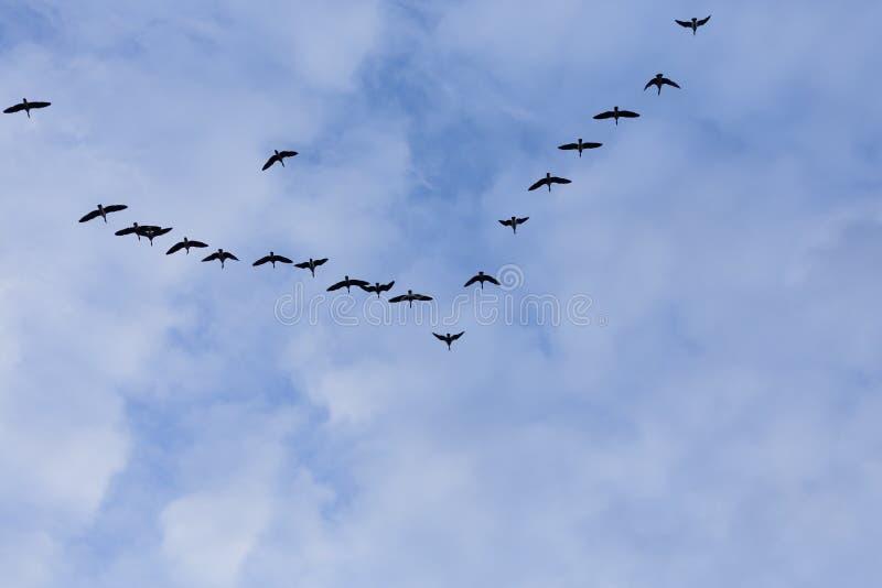Download Grupa Migrowanie Gąsek Ptaki Obraz Stock - Obraz złożonej z sylwetka, spadek: 106917889