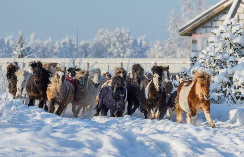 Grupa miniaturowi konie galopujący na spacerze zdjęcie royalty free