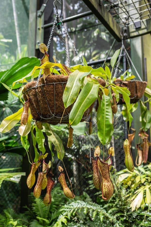 Grupa miotacz roślina w ogródzie botanicznym kopowie, Australia fotografia royalty free