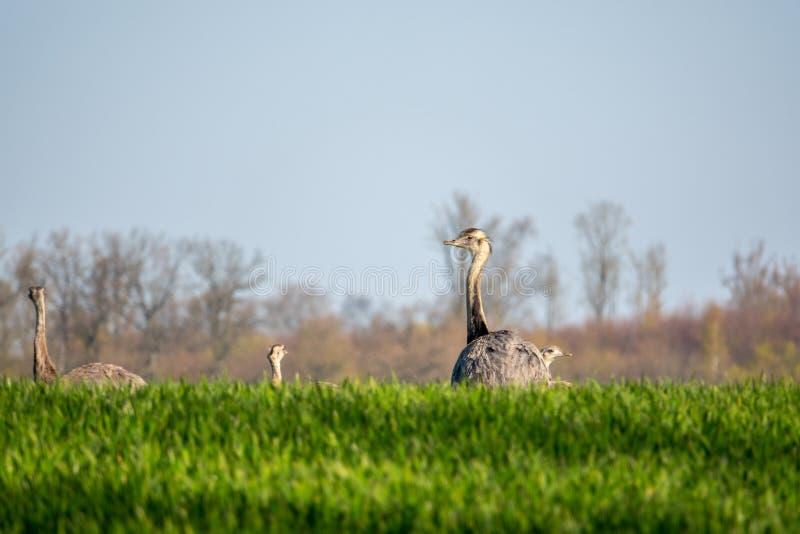 Grupa nandu biega przez pole wcześnie rano zdjęcie royalty free