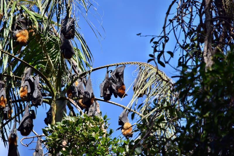 Grupa nietoperza latający lis fotografia royalty free