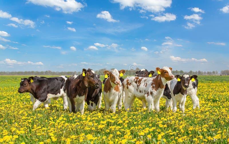 Grupa nowonarodzone łydki wpólnie w łące z dandelions zdjęcie stock