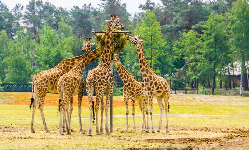 Grupa nubian żyrafy je siano od basztowego kosza, zoo zwierzęcy karmienie, Krytycznie zagrażał zwierzęcego specie od Afryka fotografia royalty free
