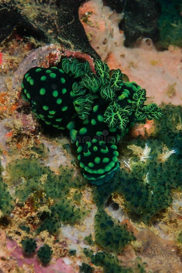 Grupa nudibranch w Ambon, Maluku, Indonezja podwodna fotografia zdjęcia royalty free