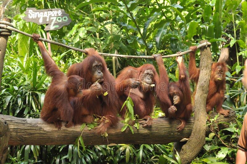 Grupa Orang Utan i swój dziecko w Singapur zoo fotografia stock