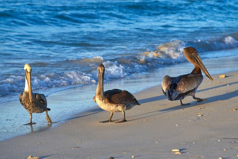 Grupa pelikany chodzi wzdłuż plaży przy zmierzchem zdjęcia royalty free