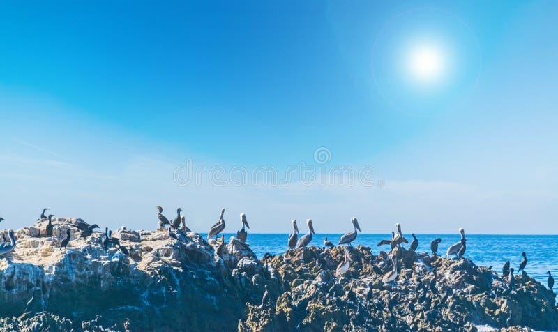 Grupa pelikany na skale w laguna beach zdjęcie stock