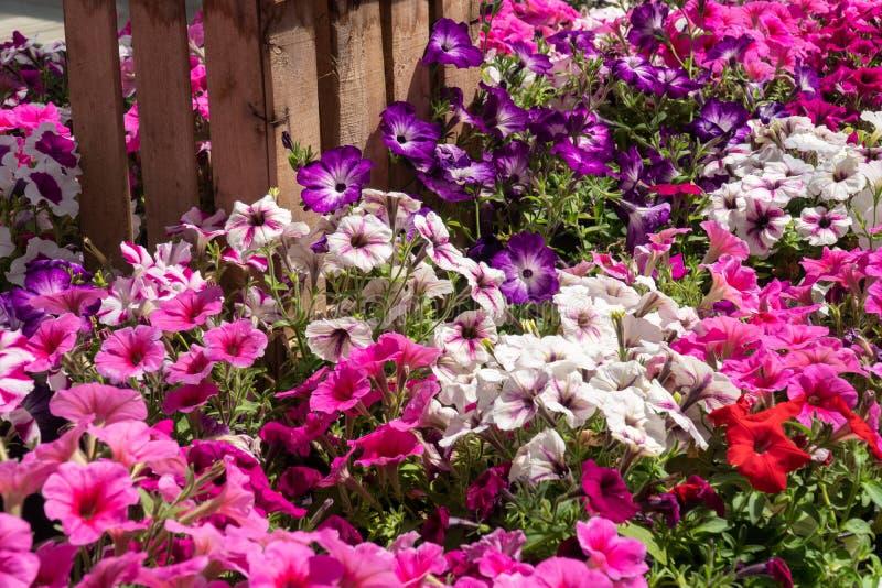 Grupa petunia kwitnie w pełnym kwiacie zdjęcie stock