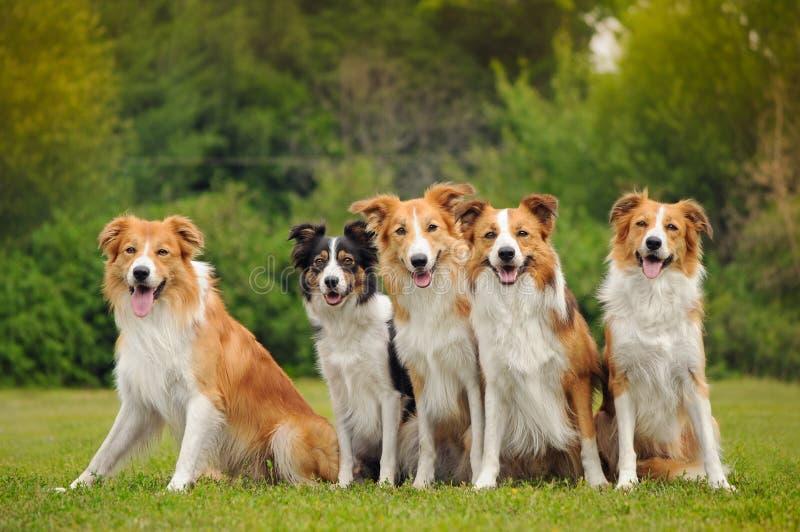 Grupa pięć szczęśliwych psów rabatowy collie obrazy royalty free