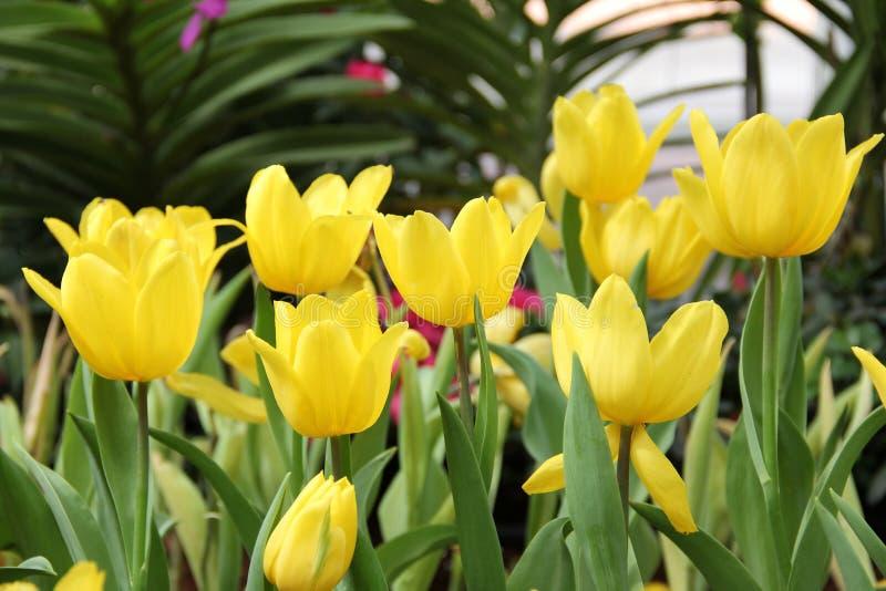 Grupa piękny bukieta koloru żółtego tulipan obraz royalty free