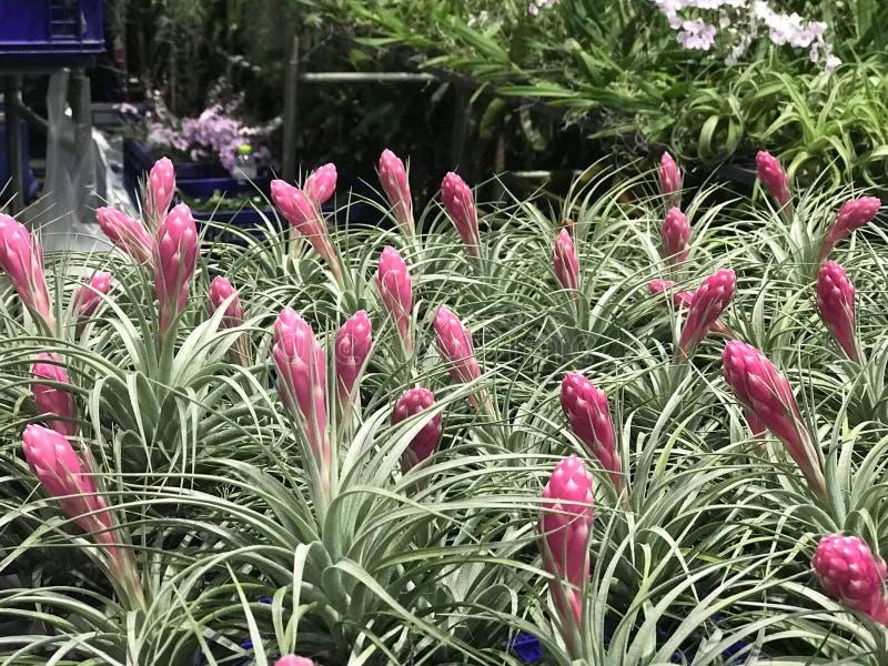 Grupa piękny różowy Aechmea fasciata w roślina sklepie zdjęcia royalty free