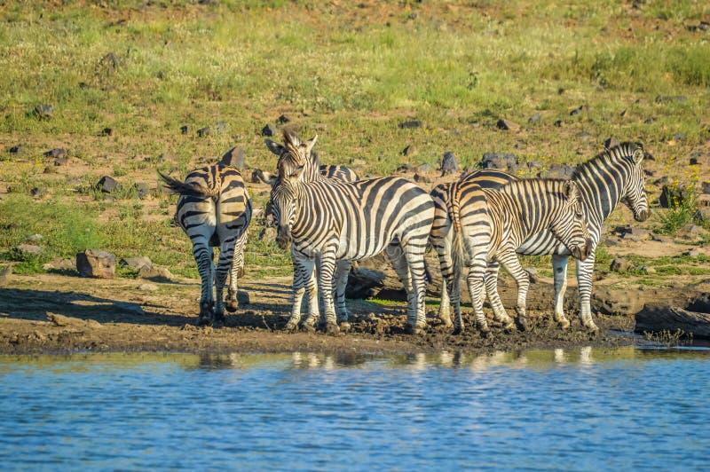 Grupa pije od tamy podczas safari w Afrykańskim bushveld spragniona zebra zdjęcia stock