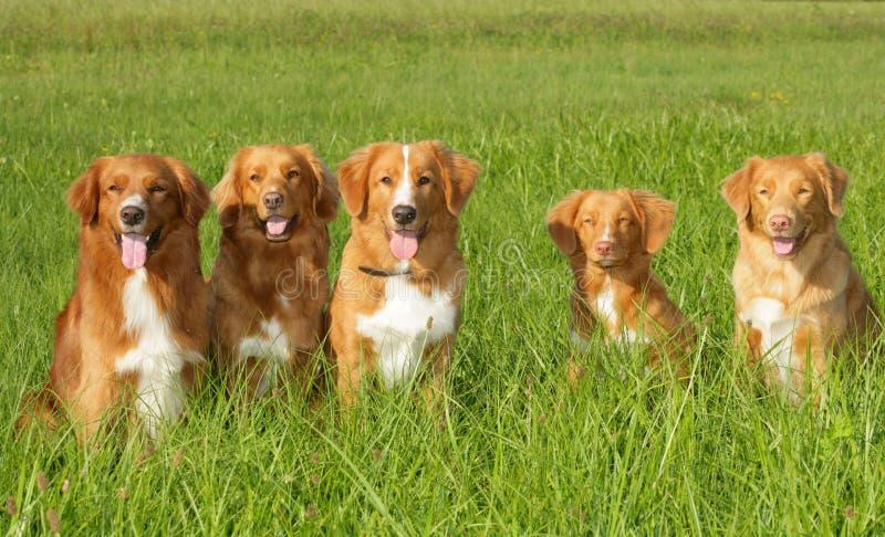 Grupa psów nowa scatia kaczki tolling aporter obraz stock