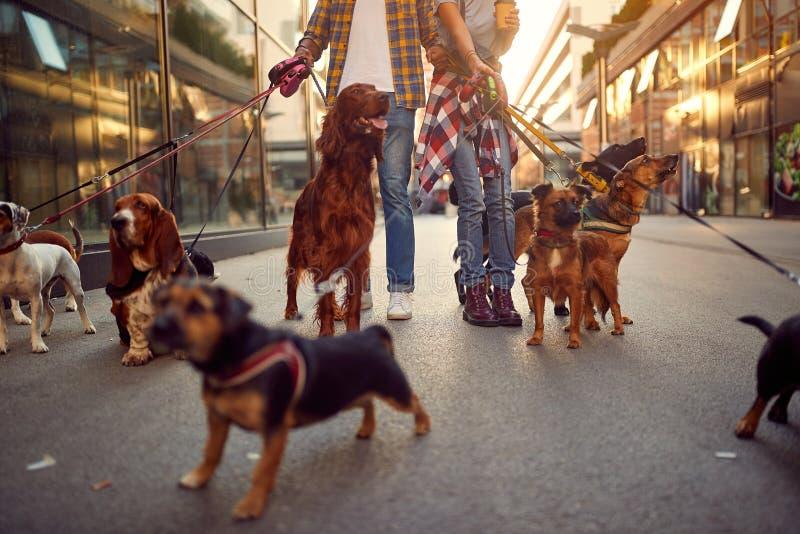 Grupa psi odprowadzenie na smyczu z profesjonalisty psa piechurem fotografia stock