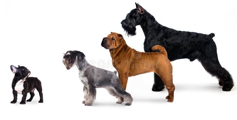 Grupa psy odizolowywający na białym tle zdjęcia royalty free