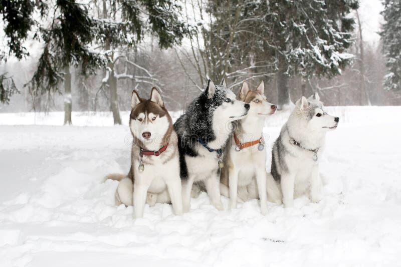 Grupa psy w śnieżnych dryfach łuskowaty Hamming Wiek 3 roku obraz royalty free