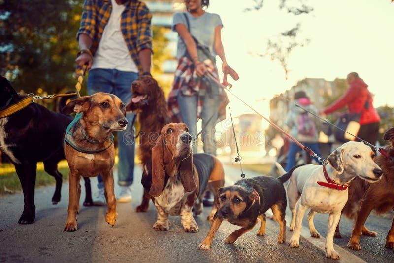 Grupa psy w parkowym odprowadzeniu z psim piechurem zdjęcia stock