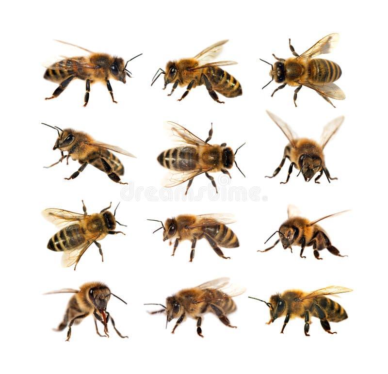 Grupa pszczoła lub honeybee, Apis Mellifera zdjęcia royalty free