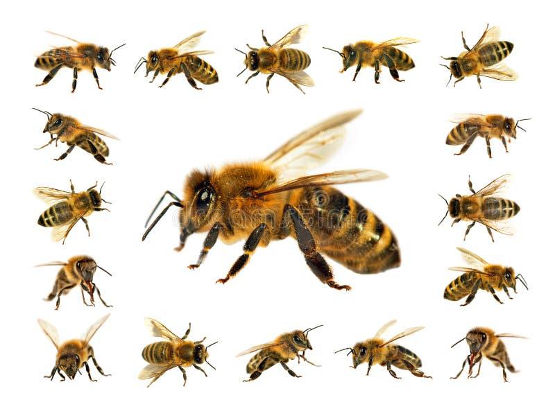 Grupa pszczoła lub honeybee na białym tle, miodowe pszczoły obrazy stock