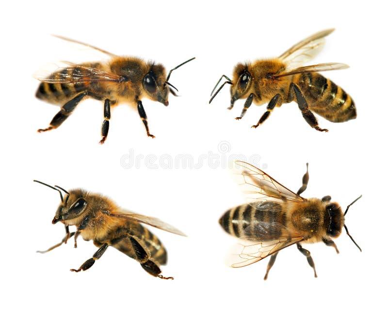Grupa pszczoła lub honeybee na białym tle, miodowe pszczoły zdjęcia royalty free