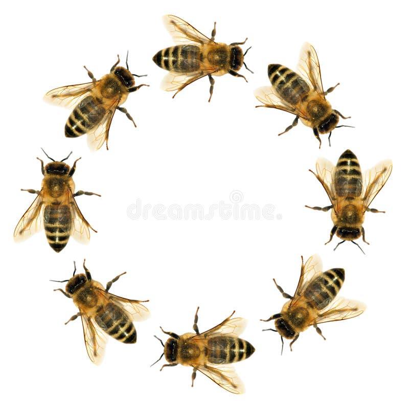 Grupa pszczoła lub honeybee w okręgu zdjęcie stock