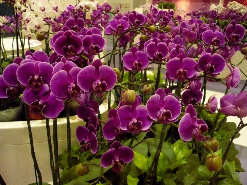 Download Grupa Purpurowe orchidee zdjęcie stock. Obraz złożonej z tło - 106910838