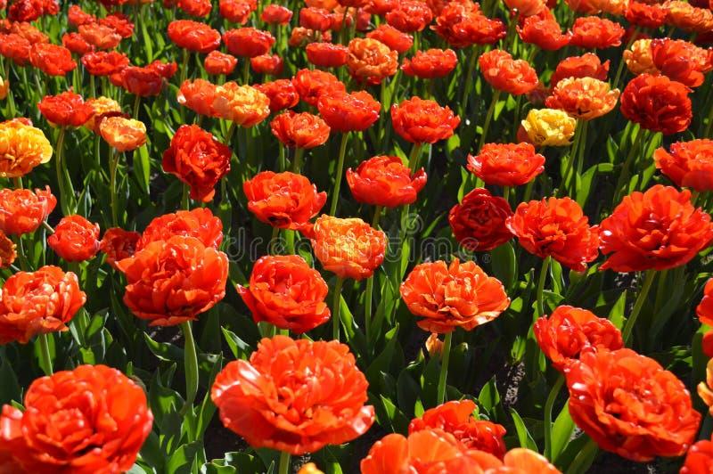 Grupa Różani tulipany, Wiele kwiaty obraz stock