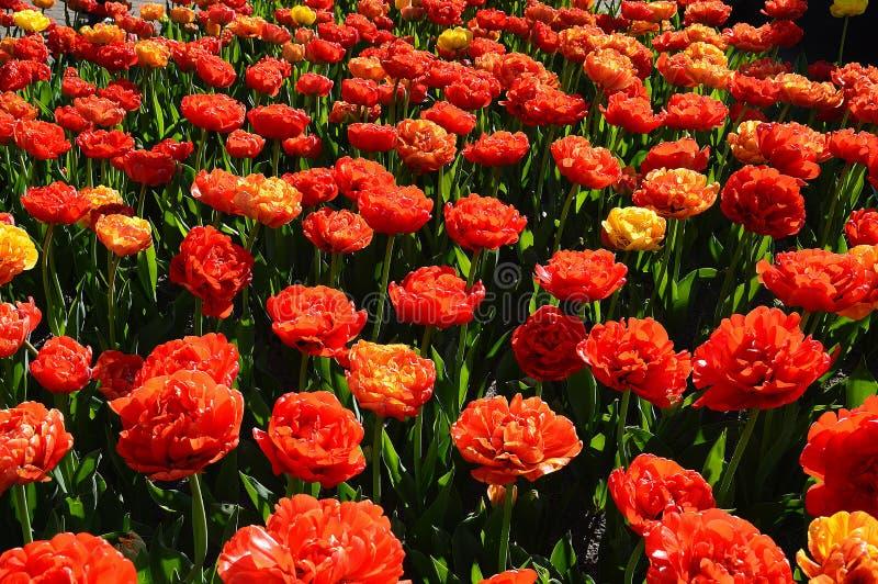 Grupa Różani tulipany, Wiele kwiaty fotografia stock