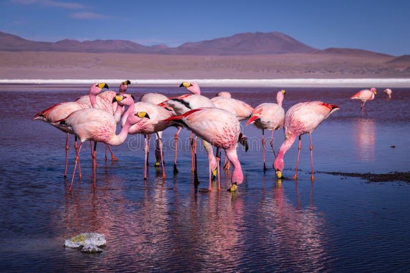 Grupa różowi flamingi w Laguna Colorada, Boliwia zdjęcie stock