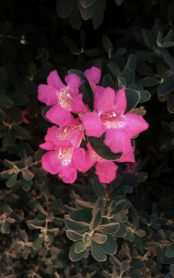 Grupa różowy Leucophyllum kwiat zdjęcia stock