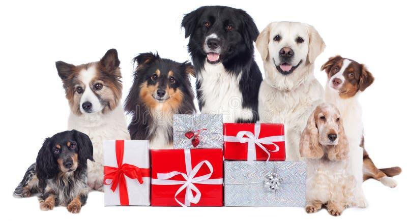 Grupa rodowodów psy z boże narodzenie prezentami obraz stock