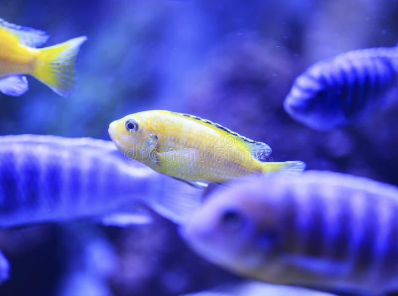 Download Grupa ryba w akwarium obraz stock. Obraz złożonej z żeglarz - 106917639
