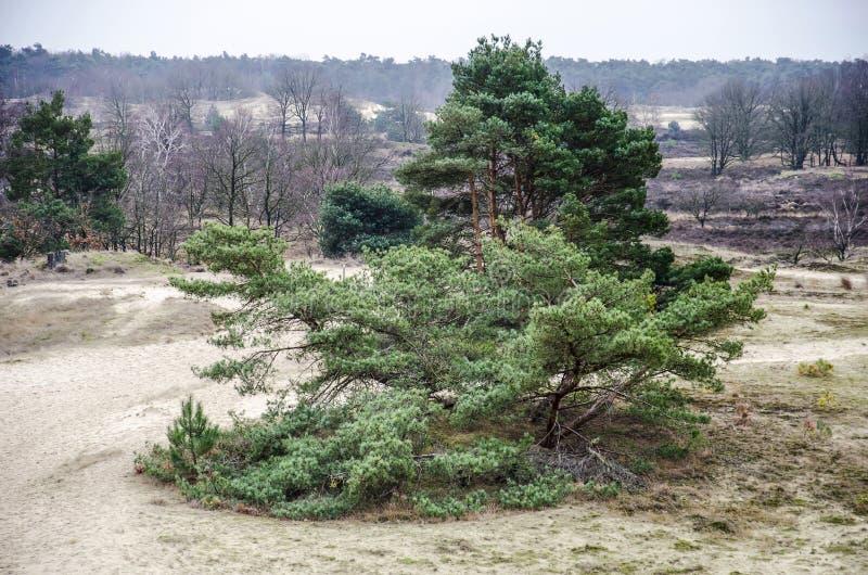 Grupa sosny w piaskowatych diunach zdjęcie stock